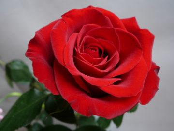 rosa_vermelha
